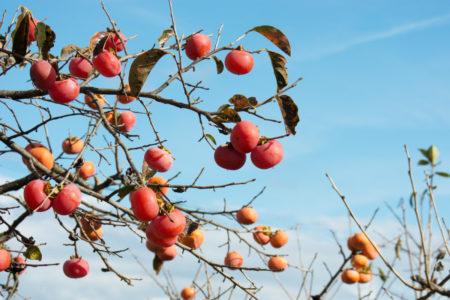柿の葉茶について | 栄養04